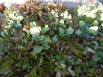 Salat-November