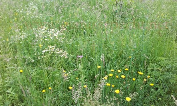 Wildblumenwiese-Juni_01