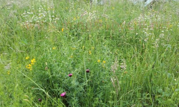 Wildblumenwiese-Juni_02