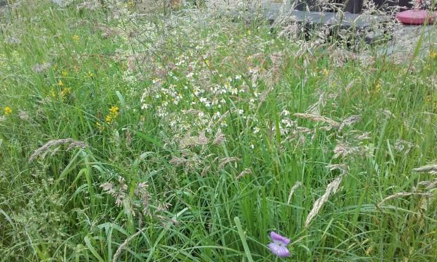 Wildblumenwiese-Juni_03