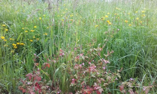 Wildblumenwiese-Juni_04