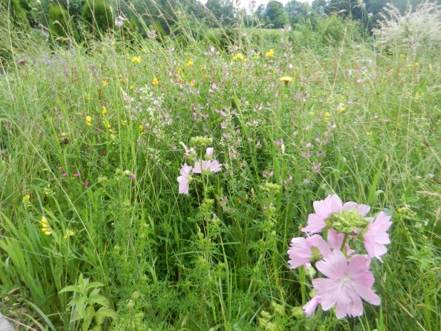 Blumenwiese-Juni-Juli_02