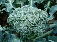 broccoli-494754_640